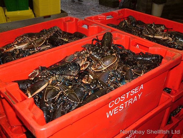 Collection of lobsters